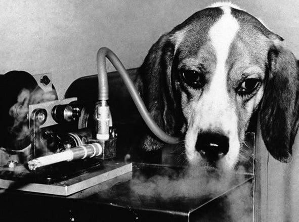 Registro revoltante de 1966. Para testar a ligação entre o fumo e efisema pulmonar, o Hospital de Veteranos de East Orange ligou uma máquina de fumo à tranqueia do cão através de um tubo plástico