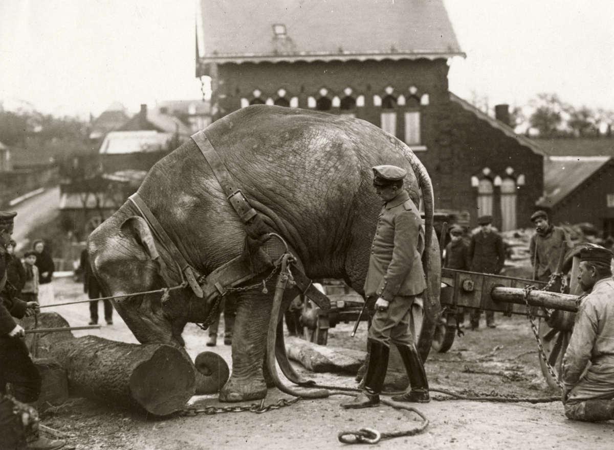 Elefante sendo usado por soldado alemão para mover troncos pesados na Primeira Guerra Mundial, 1915
