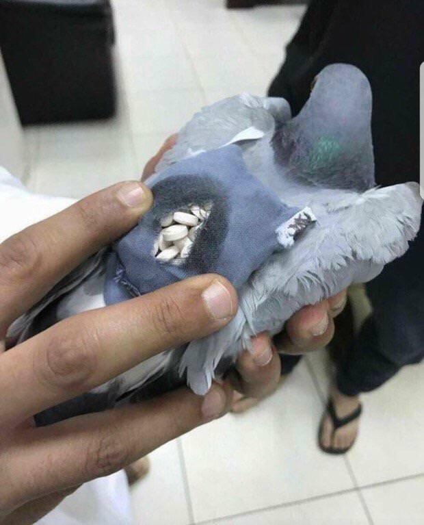 Polícia no Kuwait descobre pombo com 200 comprimidos de ecstasy numa espécie de mochila