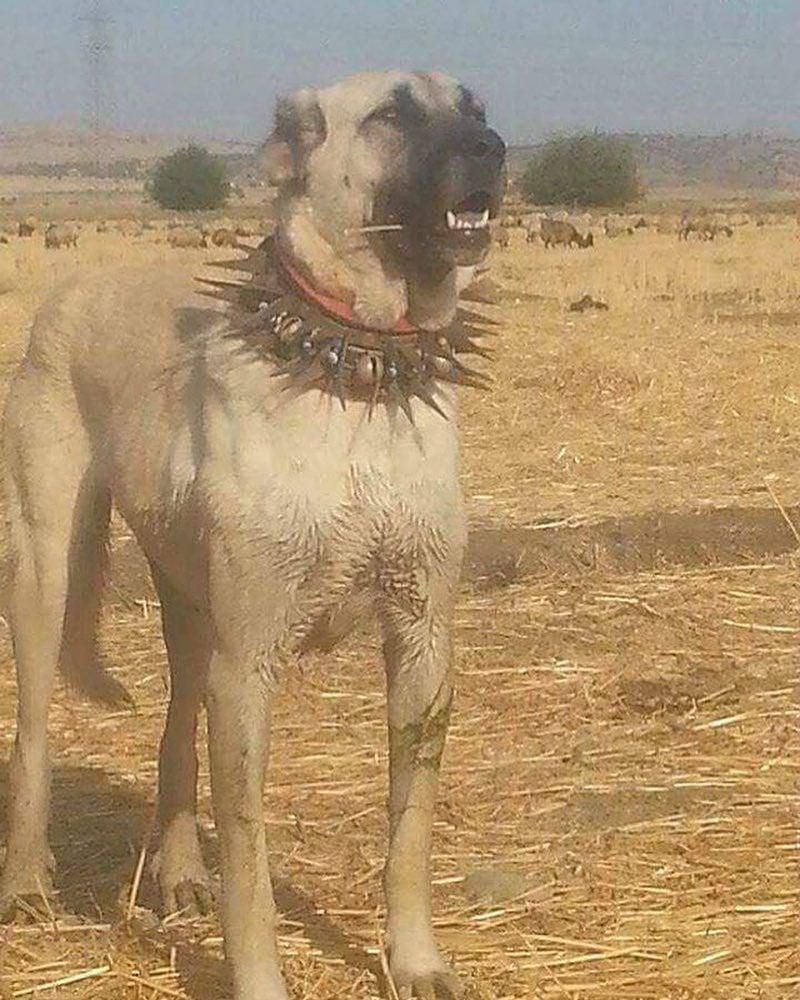 O objetivo desta coleira é proteger o cão quando estiver lutando contra lobos. A base da coleira protege a garganta e a artéria carótida, enquanto os espinhos servem para impedir mordidas no pescoço