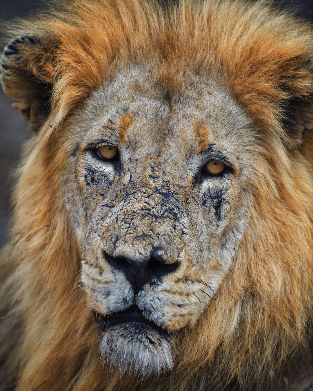Este leão de 11 anos de idade é considerado um guerreiro entre os outros da espécie. Sua face é um distintivo de honra que mostra quantas batalhas ele enfrentou para tornar-se rei do seu território