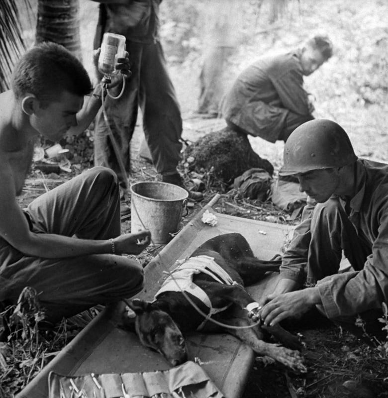 Tropas americanas tratando cão ferido do Pelotão de Cães, em 1944