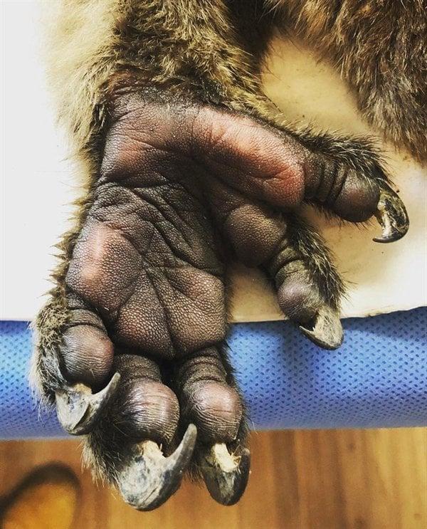 Mão de um coala