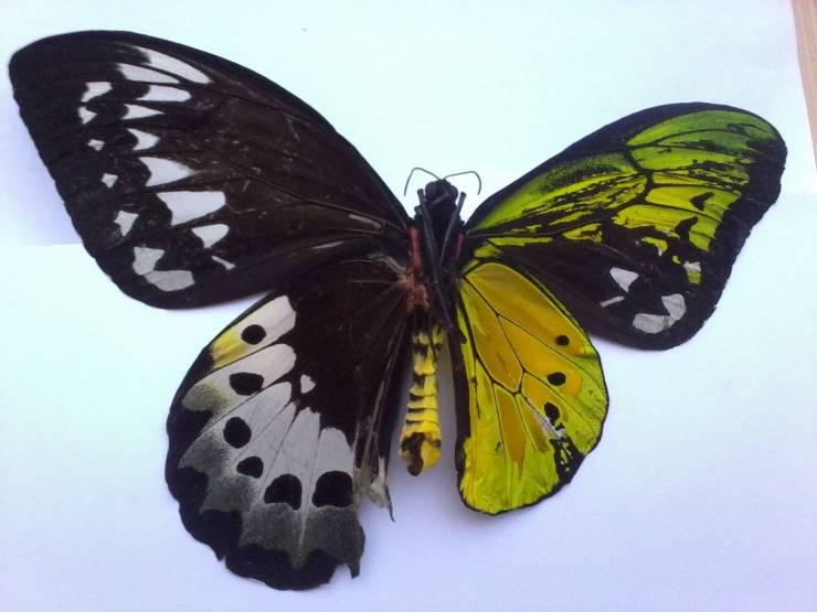 Borboleta ginandromorfa bilateral: metade macho e metade fêmea