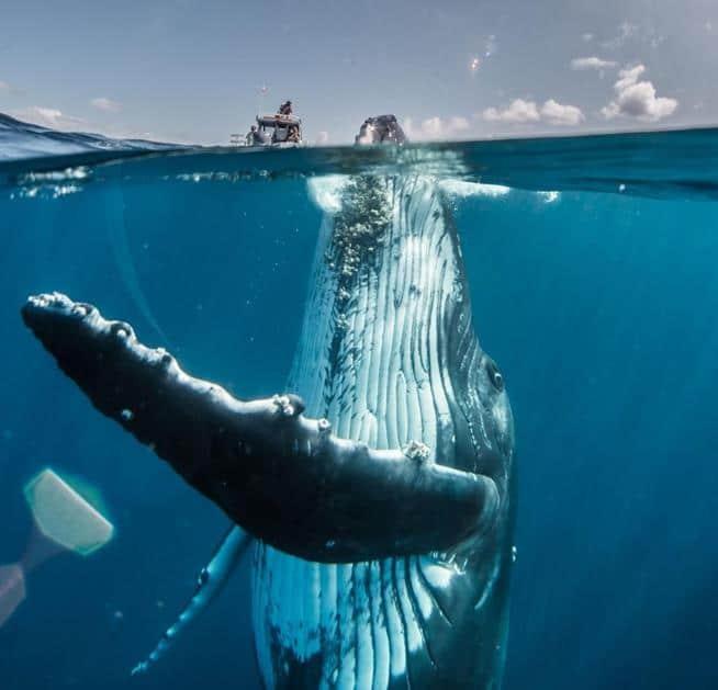 Baleia jubarte adolescente brincando no Pacífico Sul