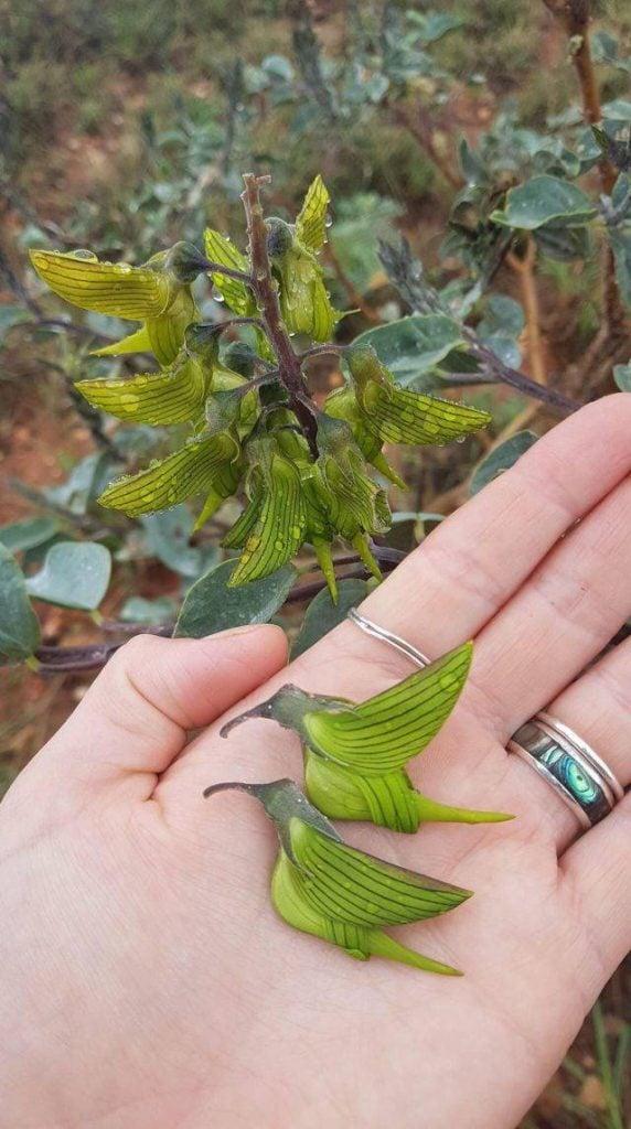 Esta planta é conhecida como Flor-do-pássaro verde. A aparência explica o nome