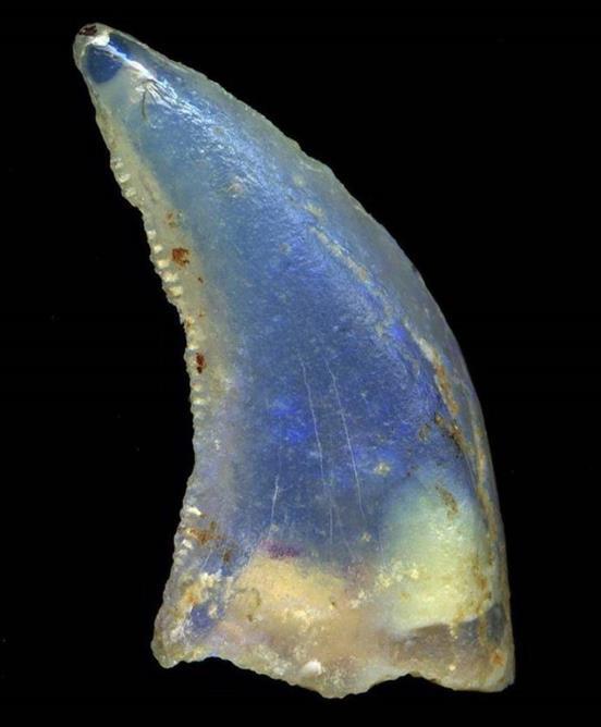 Dente opalizado de um terópode, encontrado na Austrália. Um dos mais raros e valiosos dentes de dinossauro existentes