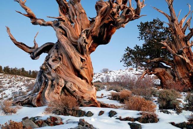 Methuselah, a árvore mais antiga do mundo, localizada na Califórnia. Ela tem mais de 4700 anos