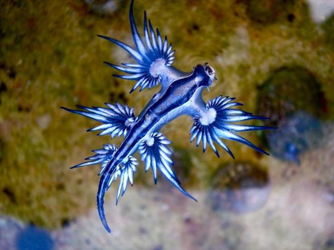 Glauco azul, também conhecido como dragão azul do mar