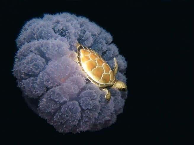 Tartaruga viajando em cima de uma água-viva