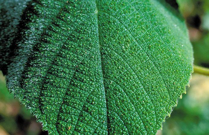 Esta é a Gympie-gympie, a planta mais venenosa do mundo. Ela produz uma toxina tão dolorosa que leva pessoas ao suicídio. Quando em contato com a pele, é como ser queimado com ácido ou ser eletrocutado