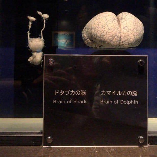 Cérebro de um tubarão (esquerda) em comparação com o de um golfinho