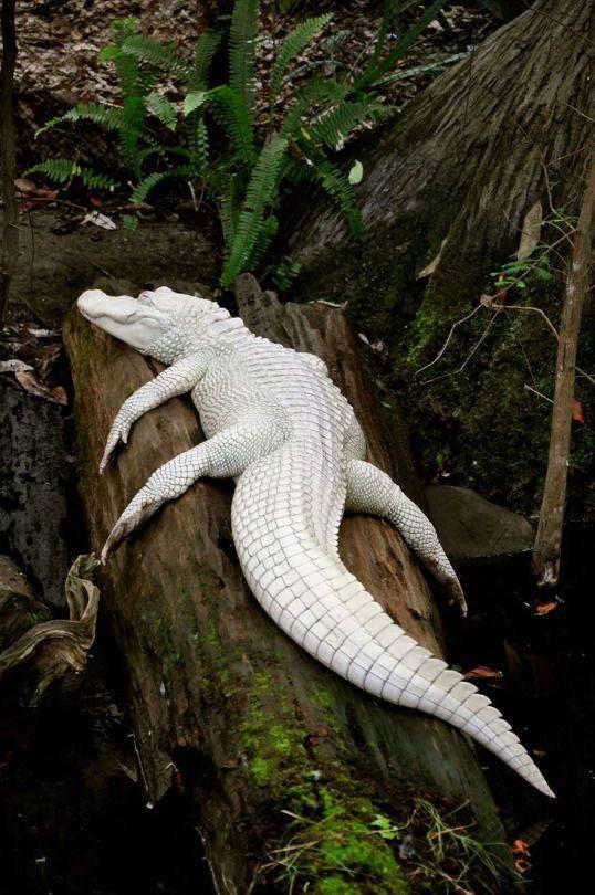 Este é um dos 100 jacarés albinos existentes no mundo, sendo extremamente raro, considerando que apenas nos EUA há aproximadamente cinco milhões de jacarés