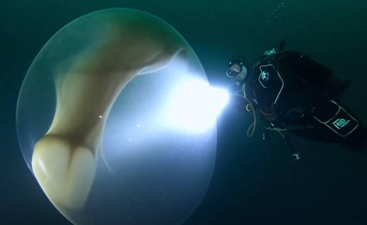 Mergulhadores encontram enorme ovo de lula