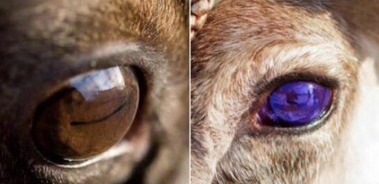 Os olhos das renas ficam azuis no inverno, o que os faz enxergar melhor no escuro devido à dispersão da luz na retina