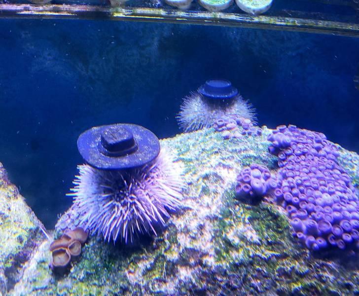 Os ouriços-do-mar colocam pedras nas suas
