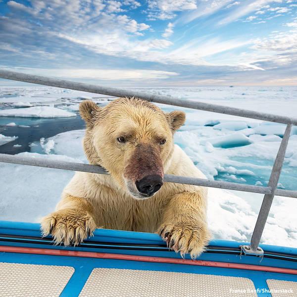 Na Noruega, o fotógrafo Franco Banfi registrou o momento em que um urso polar curioso tentou escalar o convés