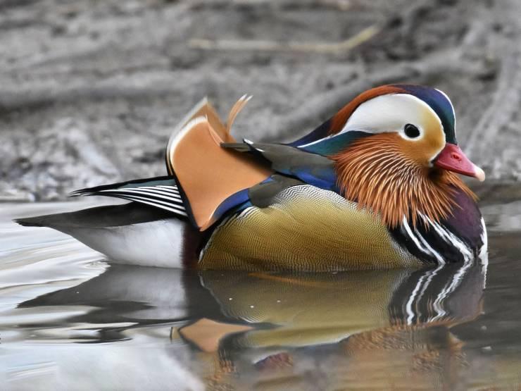 Este é um pato mandarim, animal cuja natureza não economizou no uso das cores.