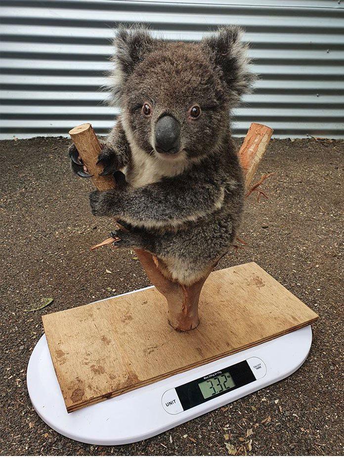Como se pesa um coala