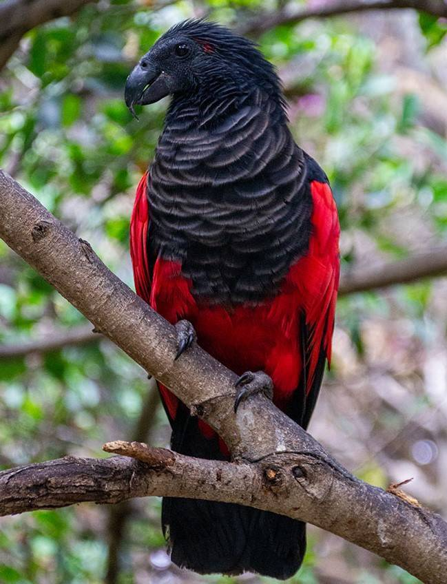 Papagaio Drácula - o pássaro mais interessante e gótico do mundo