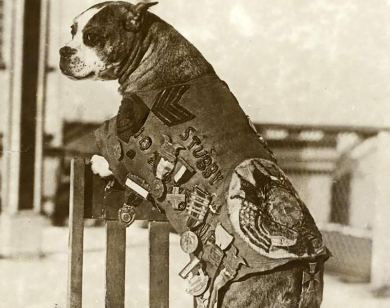 Sargento Stubby foi um cão de guerra da Primeira Guerra Mundial que alertou os soldados sobre o gás mostarda e encontrou soldados feridos. Ele serviu por 18 meses e participou de 17 batalhas. Ele faleceu em 1926