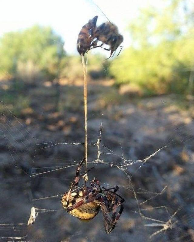 Abelha pica aranha antes de ficar definitivamente presa nela. Ambas morreram