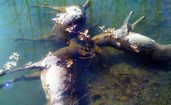 Final trágico de três veados que caíram no lago quando seus chifres ficaram presos durante uma luta