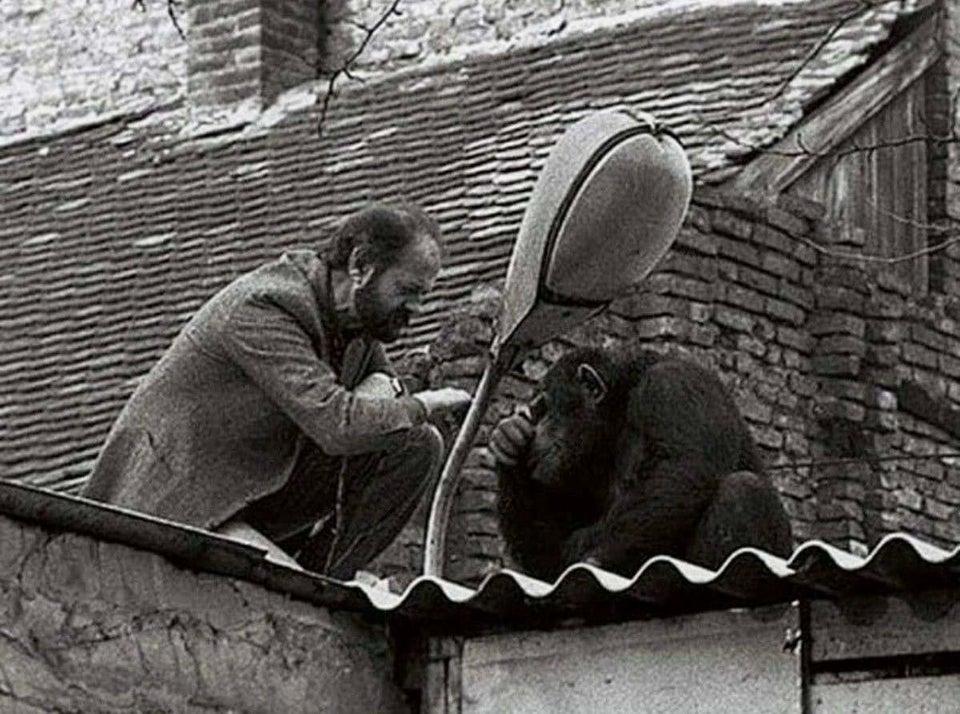 O diretor do zoológico de Belgrado tenta convencer Sami, o chimpanzé, a retornar para casa após sua fuga, em 1988.