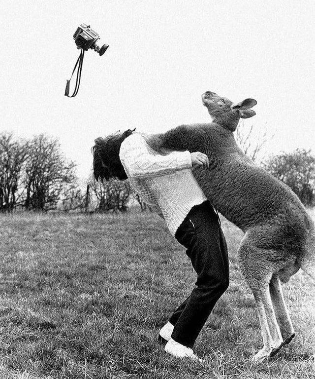 Fotógrafo John Drysdale sendo atacado por um canguru, em 1962.