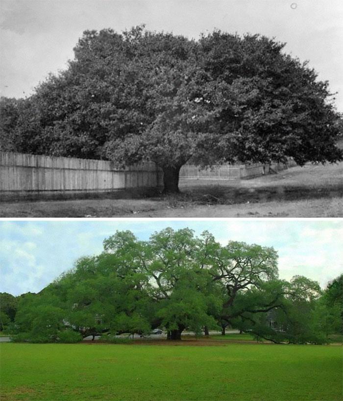 The Big Oak, em Thomasville, Georgia (1895 / 2020)